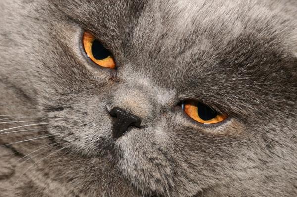 Fat Cat Face