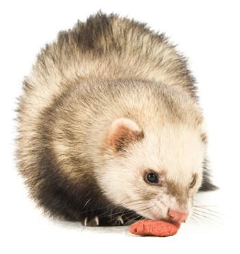 Ferret eating ferret food
