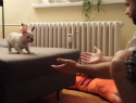 The tiniest French bulldog takes a big leap (VIDEO)