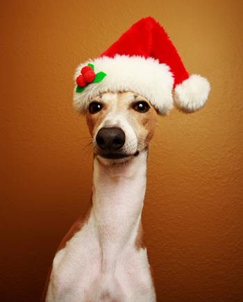 Greyhound with Santa Hat