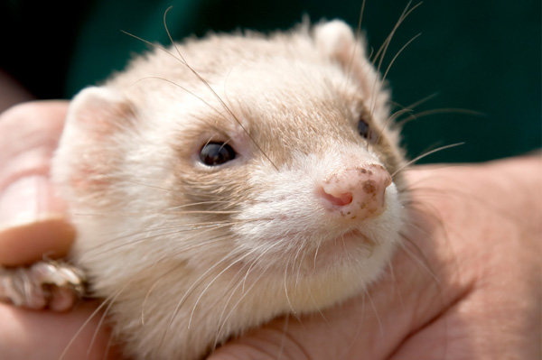 Person Holding Ferret
