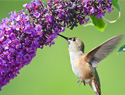 Create a garden hummingbirds will love