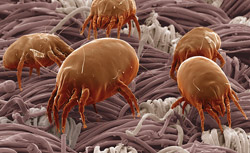 Dust mites - magnified