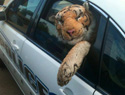 Lady calls cops about a loose tiger, but gets a humiliating surprise
