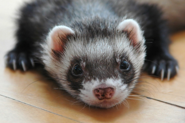 Lethargic Ferret