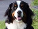 Meet the breed: Bernese Mountain Dog