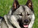 Meet the breed: Norwegian Elkhound