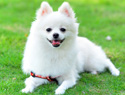 Meet the breed: Pomeranians