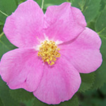 WILD ROSE OR ROSEHIP OIL