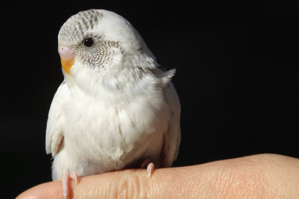 Parakeet perched on finger