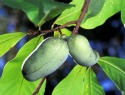 The benefits of paw paw cream