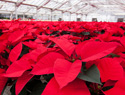 How to keep your poinsettia plant thriving year-round