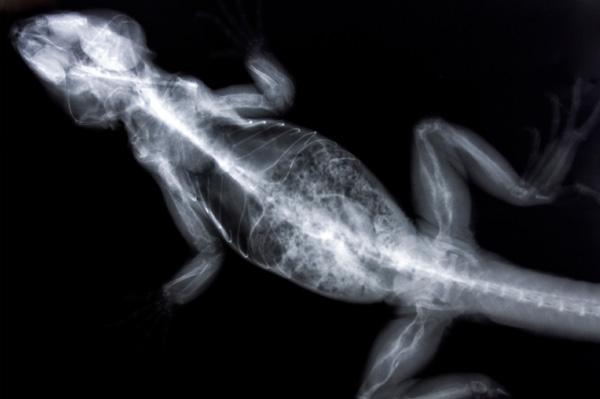 Reptile X-ray