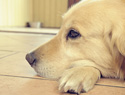 Helping your dog grieve