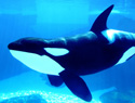 10 Years alone: Shouka the killer whale