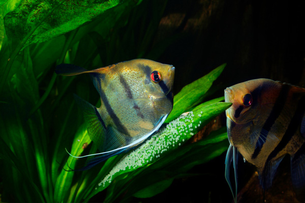 Spawning Angelfish