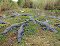 5 Places in Florida to View Alligators in Their Natural Habitat