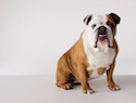 English Bulldog frantically chomps at the sprinkler (VIDEO)