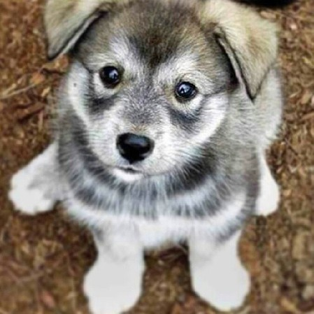 Meet the Norwegian Elkhound