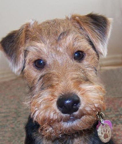 Welsh Terrier