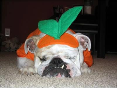 Pumpkin bull dog