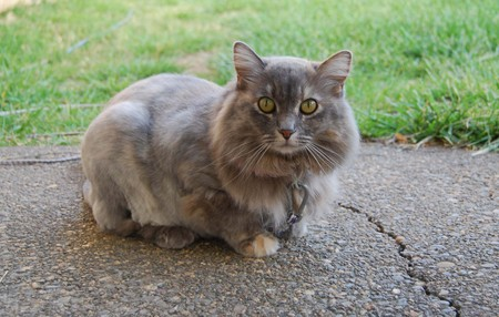 Fluffy grey cat
