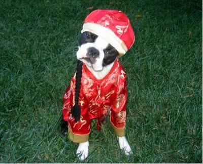 Chinese boston terrier