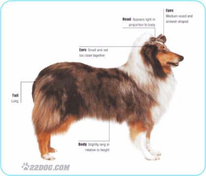 Meet the Collie