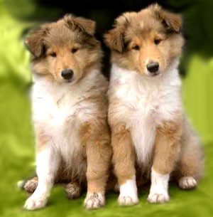 Collie Puppies on Collie Puppies   Puppies