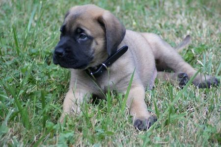 Mastiff Puppies on English Mastiff Puppy   Puppies