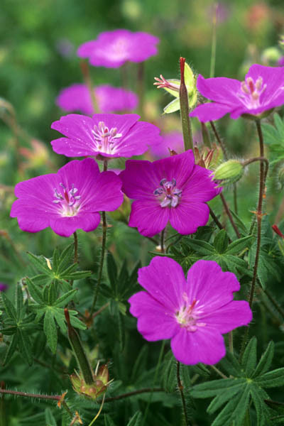 Geranium Sanguin