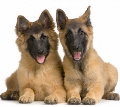 German Shepard Puppies on German Shepherd Puppies