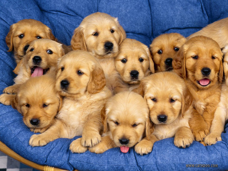Golden Retriever Puppies on Litter Of Golden Retriever Puppies   Puppies