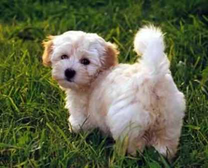 Cutest toy dog breeds