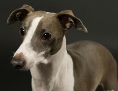 Cutest toy dog breeds: Italian greyhound