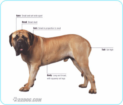 Meet the Mastiff