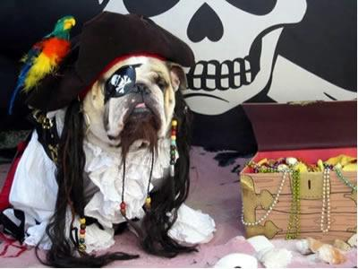Pirate bull dog