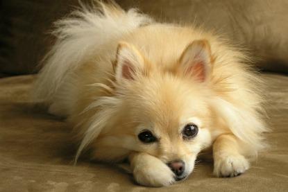 Cutest toy dog breeds pomeranian