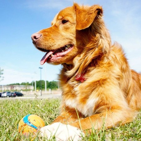 Nova Scotia Tolling-Duck Retriever