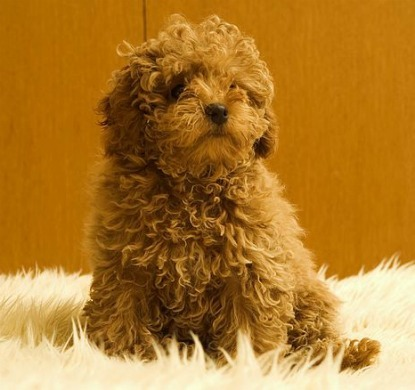 Puppies on Toy Poodle   Cutest Toy Dog Breeds