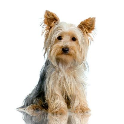 Cutest toy dog breeds: Yorkshire terrier
