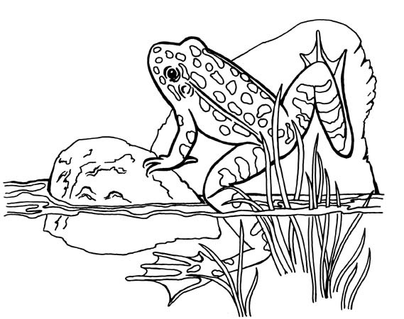 Southern Leopard Frog Drawing Frog Coloring Page