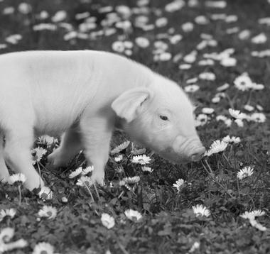 Worlds cutest piglet - photo#7