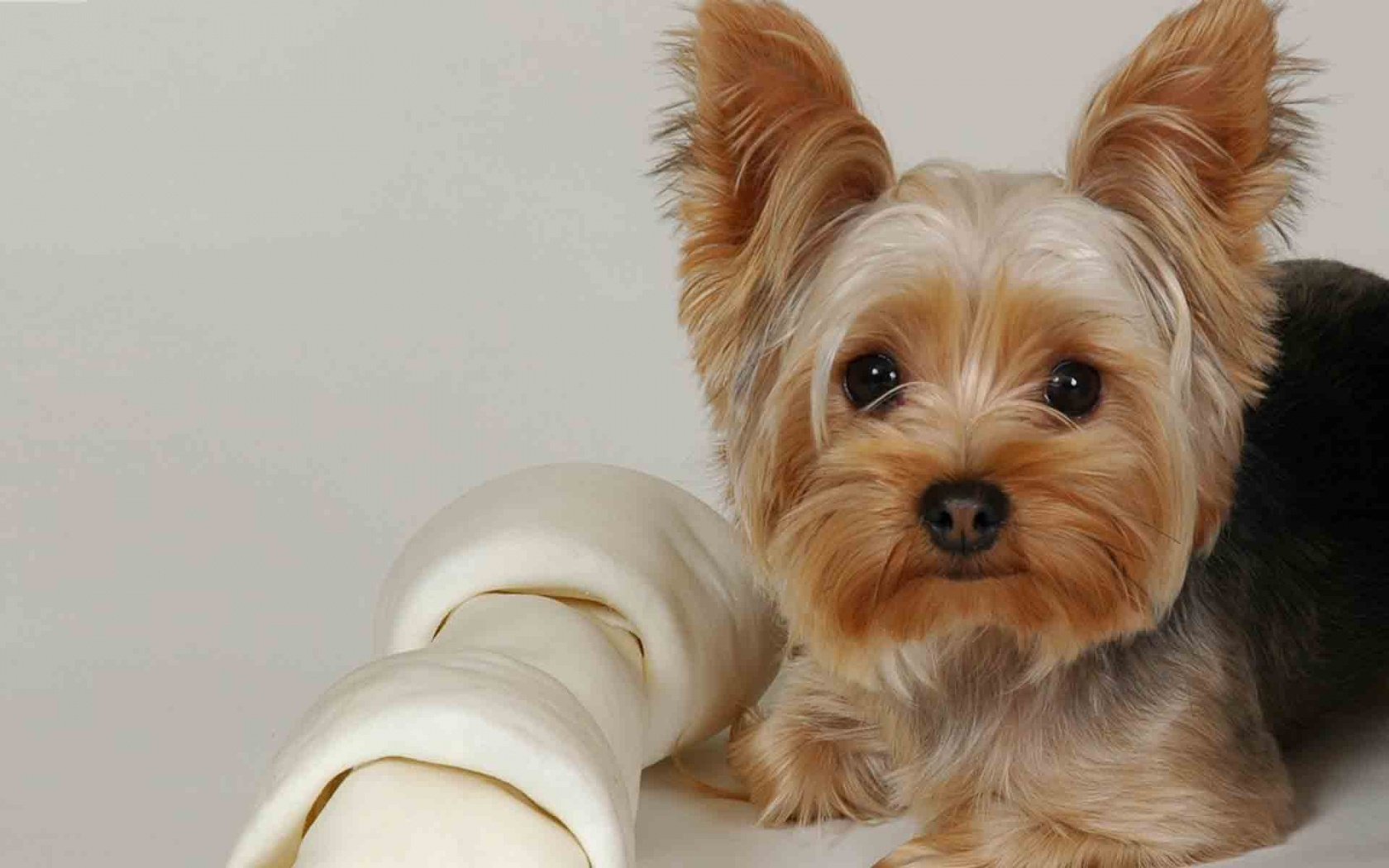 yorkshire terrier dog breeds meet the breed yorkshire terrier 4584