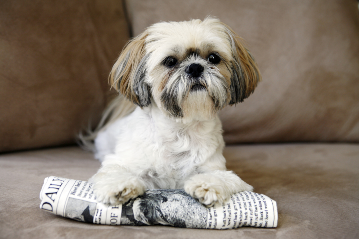 shih tzu dogs breeds 20 small dog breeds that are the cutest creatures on the 969